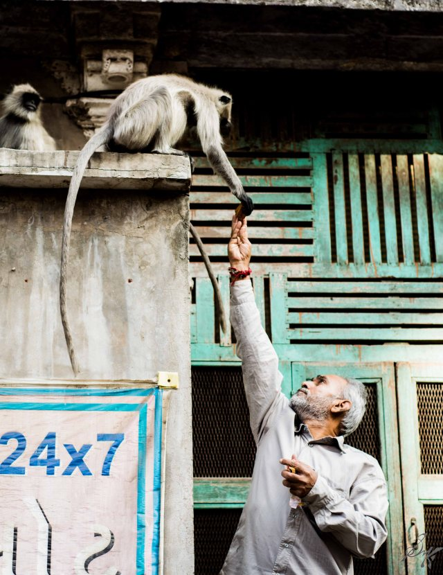 A man feeds biscuits to a langoor in Ahmedabad, Gujarat