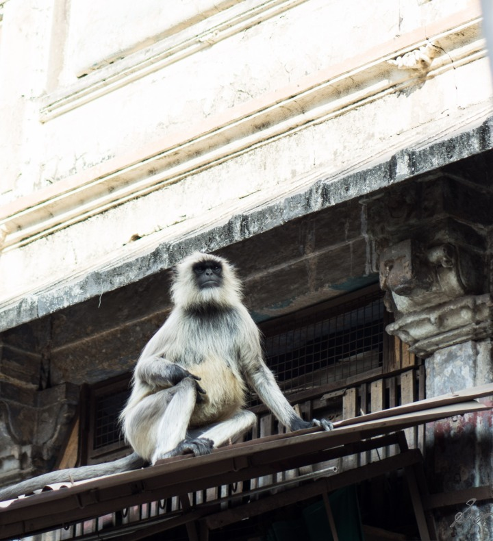 A langoor poses for a photo in Ahmedabad, Gujarat