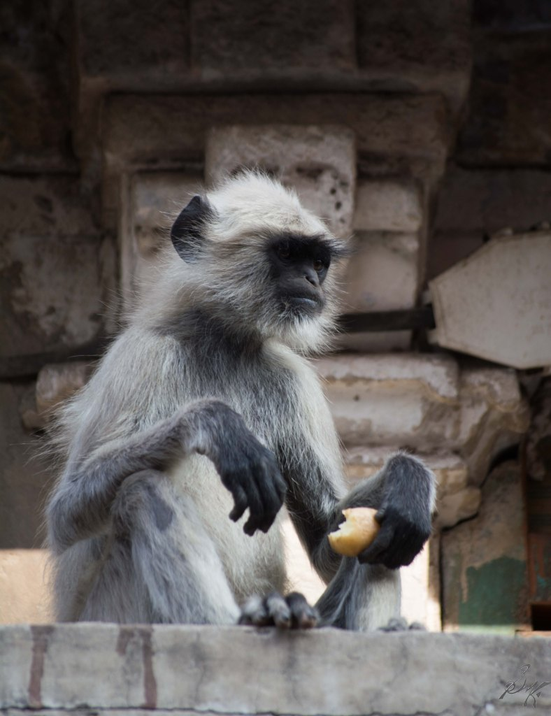 A langoor eats a potato in Ahmedabad, Gujarat