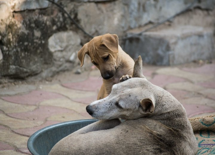 A puppy plays with its mother in Ahmedabad, Gujarat