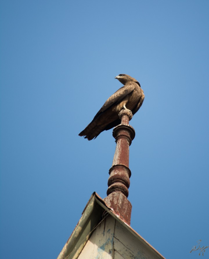 A eagle gives a striking pose in Ahmedabad, Gujarat