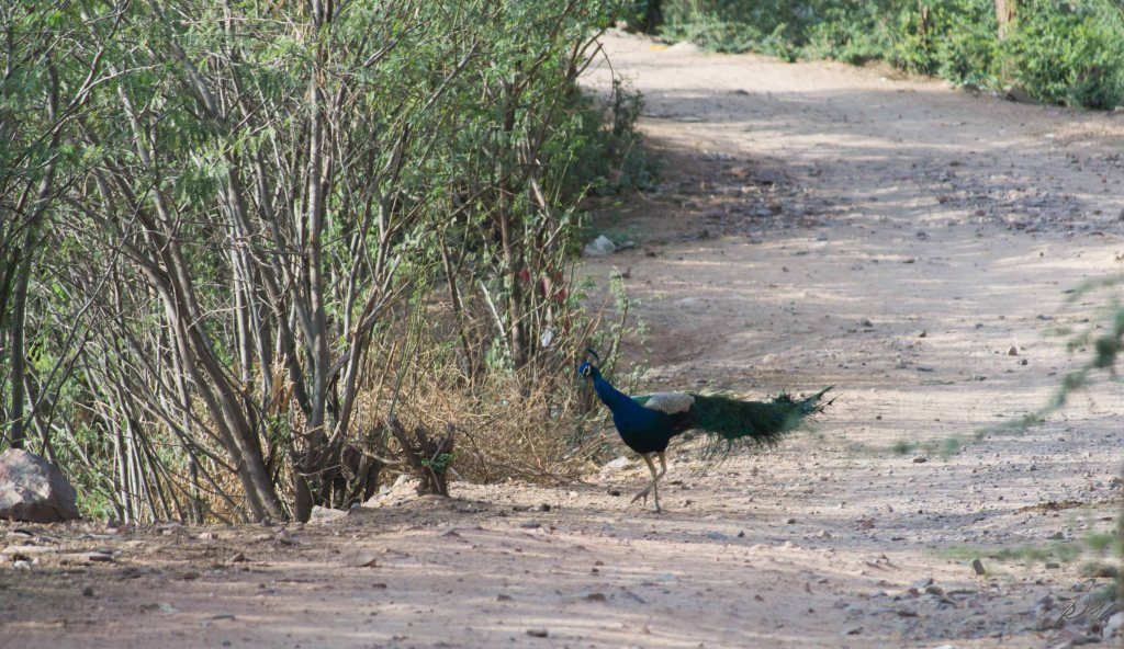 Peacock roaming near the Neemrana Fort, Rajasthan