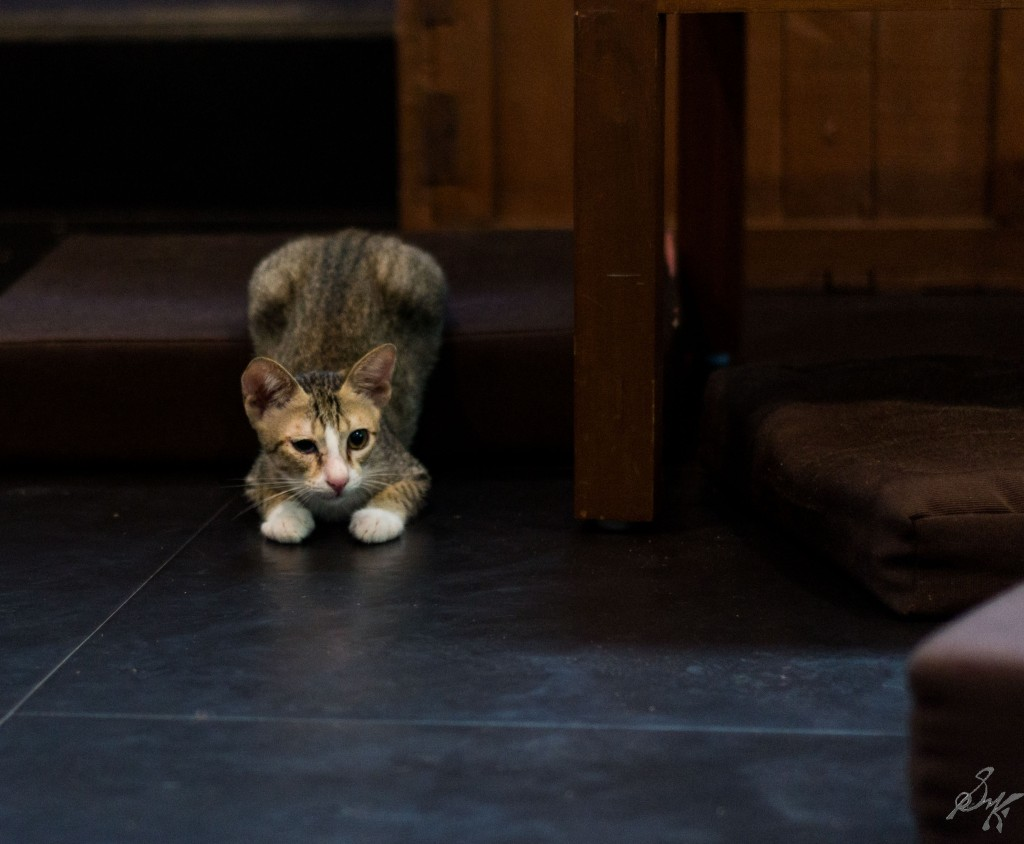 Kitten ready to pounce