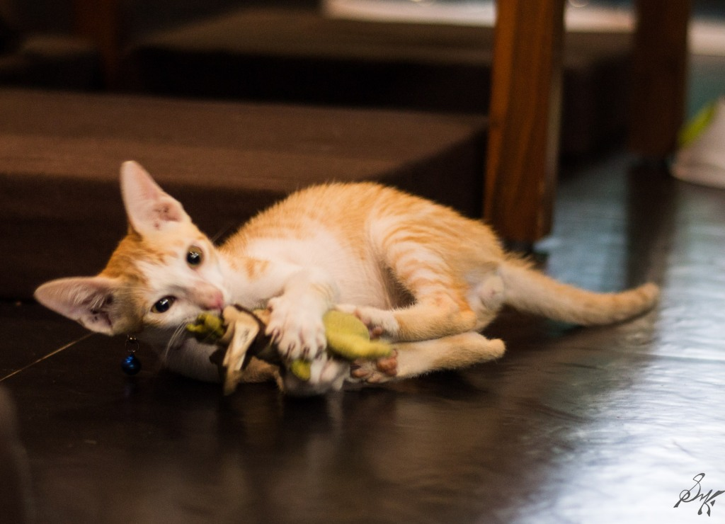 Kitten playing with a toy