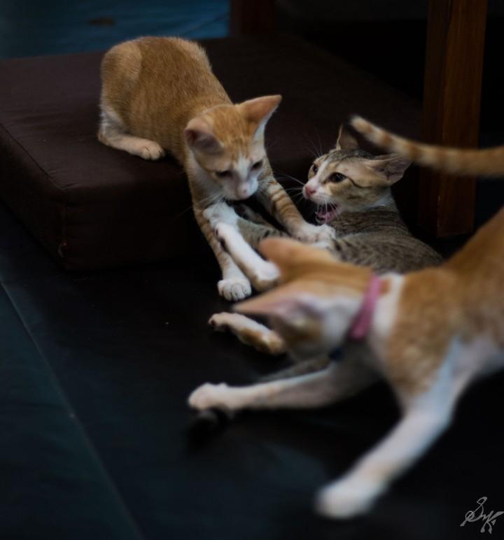 Kittens fighting
