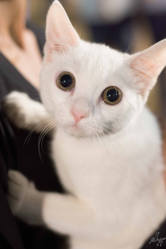 Cute desi kitty, cat, white