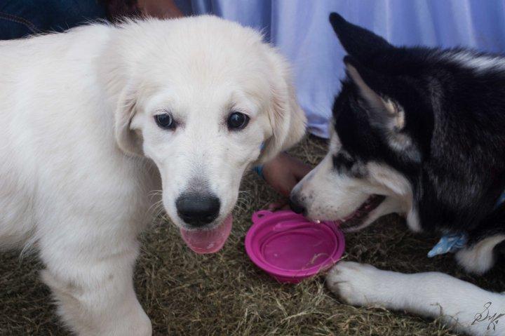 A white retriever and a husky