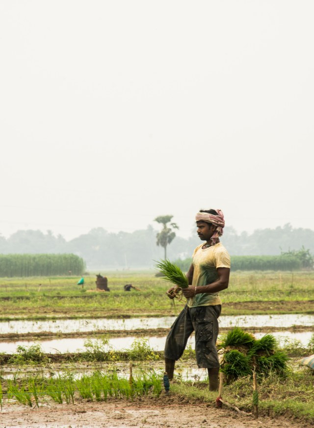 Man with a bunch of paddy saplings